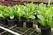 image of butter-lettuce  - fresh butter head is grown in pot - JPG