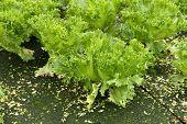 Green Oak, Hydroponics Green Vegetable In Farm
