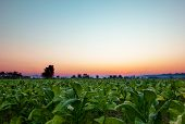 picture of tobacco leaf  - Tobacco field with beautiful sunset sky background - JPG