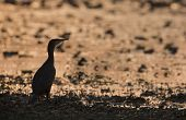 great cormorant (Phalacrocorax carbo) in the riverbank