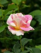 Beautiful Rose Yellow And Red Stripes