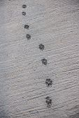 Dog Footprint walk on wet concrete floor background