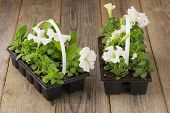 picture of petunia  - Two plastic flowerpots with white petunia seedlings on the aged wooden table - JPG