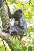 picture of baby-monkey  - Mother and baby Silver Leaf Monkeys - JPG
