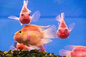 foto of parrots  - Photo of aquarium fish parrot cichlid in freshwater - JPG
