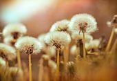 stock photo of dandelion  - Dandelion seeds  - JPG