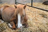 stock photo of foal  - young foal lying down indoors on hay - JPG
