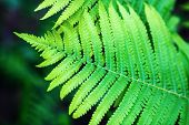 stock photo of fern  - Bright green leaf of fern. Shallow depth of field. Selective focus. ** Note: Shallow depth of field - JPG