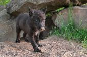 stock photo of lupus  - Black Wolf Pup  - JPG