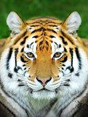 stock photo of tigress  - Close up beautiful tiger portrait in grass - JPG