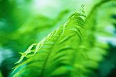 picture of fern  - Blurred image of a bright green fern as a background - JPG