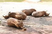 picture of rhino  - Four rhinos laying on floor near lake - JPG