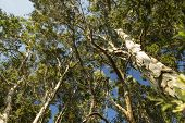 picture of canopy  - Looking up into a lush tropical forest canopy in Hawaii - JPG