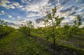 foto of apple orchard  - Nice and juicy apple orchard in the evening at sunset - JPG