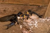 Barn Swallow Chicks Being Fed!