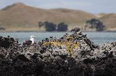 picture of scoria  - shots of the blackback gull breeding colony on rangitoto island hauraki gulf new zealand - JPG
