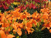 stock photo of easter flowers  - easter lilies for sale at a local nursery - JPG