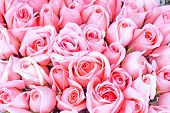 pic of pink rose  - big bunch of multiple pink roses - JPG