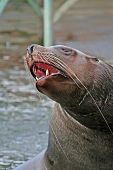 Yawning Sea Lion.