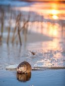 Постер, плакат: Muskrat ondatra Zibethica On An Ice Edge The Muskrat Sits On An Ice Edge On A Sunset