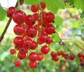 Red Currant Close-Up