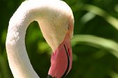 Flamingo Close-up