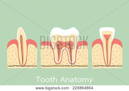 Group Of Tooth Anatomy Structure