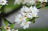 Close-up Of Crab Apple Blossoms Blooming