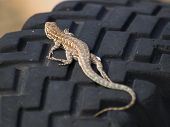 An Arizona Fence Lizard Sunning Itself On The Dark Rubber Tread Of An Old Tire. These Lizards Are Of poster