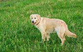 Closeup Portrait Of White Retriever Dog In Summer Background. Portrait Of A White Dog Golden Retriev poster