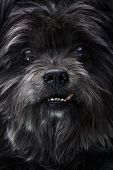 Portrait Of A Black Mongrel Dog With Crooked Canine poster