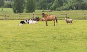 Domestic Rural Mammals Are Grazed On The Green Field In Summer Day Behind A Wooden Fence. Horse, Cow poster
