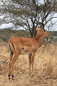 Impala In Tarangire National Park