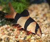 stock photo of loach  - Clown loach swimming in aquaria - JPG