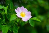 Wild Rose Flower Blossoming On Shrub, Spring. Dog Rose, Rosa Canina With Green Leaves, Beauty. Bloom poster