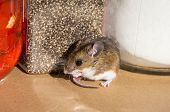 Side View Of A Wild Brown House Mouse, Mus Musculus, In Front Of Food Containers In A Kitchen Cabine poster