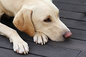 Sad Labrador On Garden Terrace
