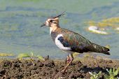 Juvenile Lapwing on the shore - Vanellus vanellu
