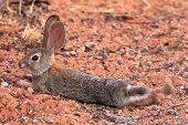 Black Tailed Desert Jack Rabbit