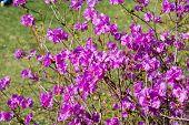 Rhododendron Dauricum. Rhododendron. Rhododendron Blossom. Blue Sky Background. Rhododendron Shrub. poster