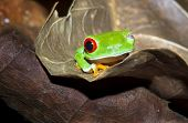 A Red Eyed Treefrog (agalychnis Callidryas) On A Leaf At Night With One Eye Open. Tortuguero Nationa poster