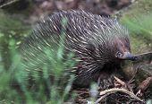 Australian Short Nose Echidna Or Spiny Anteater Or Porcupine, Sydney, Australia