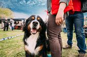 Funny Farm Dog Bernese Mountain Dog Berner Sennenhund Sitting Near Woman In Green Grass. Portrait Of poster