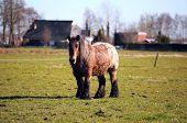 alten friesischen Pferd im freien