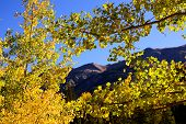 Golden Leaves Of Aspen Trees In A Mountain Forest. Colorado Autumn Scenic Beauty poster