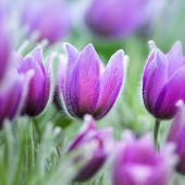 Spring Pasque Flowers