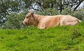 Picture of light brown cow lying on a green embankment.