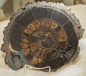 Prehistoric Fossils. Ammonite Shell In Stone Slab. Brown And Gold Patterns. Prehistoric Life. poster