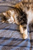 Tabby Cat Relaxing On Blue Duvet With Stretched Paws poster