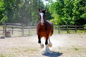 stock photo of clydesdale  - A playful Clydesdale horse cantors around his pasture - JPG